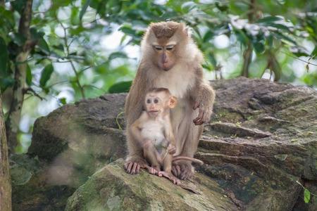 descendants: Monkey baby and mother Monkey Mountain( toh-sae Mountain) in Phuket, Thailand.