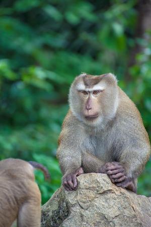 laughable: Monkey on Monkey Mountain( Toh-sae Mountain) in Phuket, Thailand.