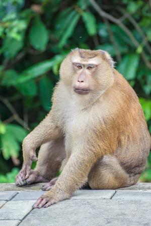 descendants: Monkey on Monkey Mountain( Toh-sae Mountain) in Phuket, Thailand.