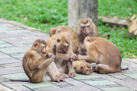 laughable: The monkey way up the mountain on foot.( Toh-sae Mountain) in Phuket, Thailand. Stock Photo