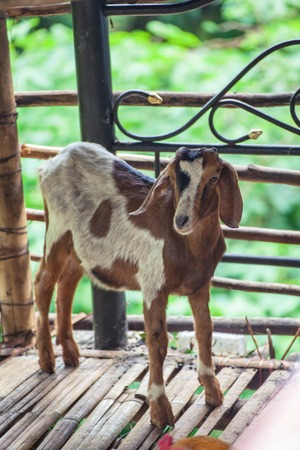 brown goat: Cute brown goat kid  on a wooden floor