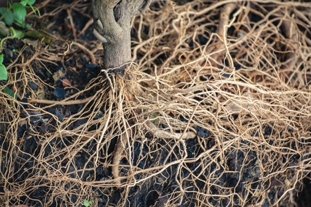 strong roots: tree roots of a plant on the ground.