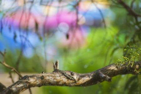 eucalyptus trees: Blurred background eucalyptus trees after rain Soft Focus