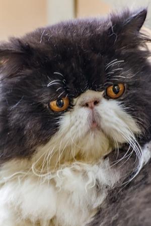 persian cat: Black and white Persian cat