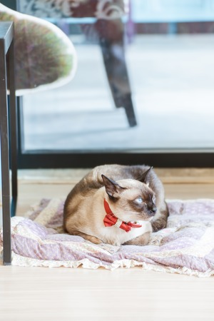 Cute blue-eyed siamese cat on pillow Stock Photo