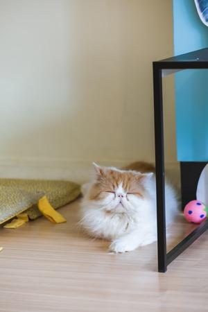 persian cat: Beautiful brown and white persian  cat is sleeping.