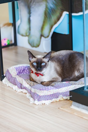 ritzy: Cute blue-eyed siamese cat on pillow Stock Photo