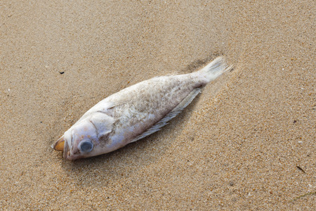 carcasses: Carcasses of dead fish on the beach