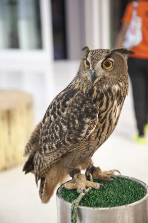 downy: Strigidae downy head, big eyes and a striped nocturnal. Stock Photo