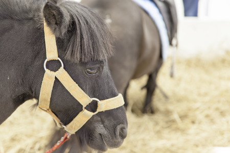 mini farm: Mini dwarf horse in at a farm Stock Photo