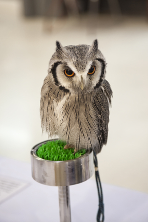 nocturnal: Strigidae downy head, big eyes and a striped nocturnal. Stock Photo