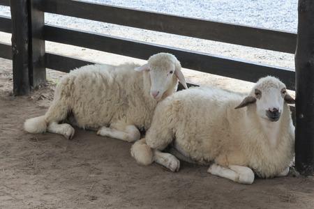 ruminant: Sheep in a sheep farm