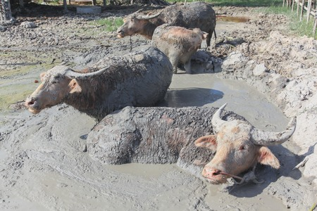 relieve: Buffalo played mud to relieve the heat in small pond