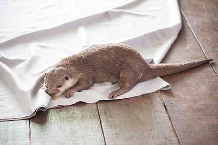 small clawed: Otters lying on a white cloth