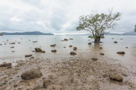 Mangrove tree at low tide, Phuket Thailand