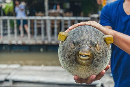 Puffer Fish On Male Hand Stock Photo