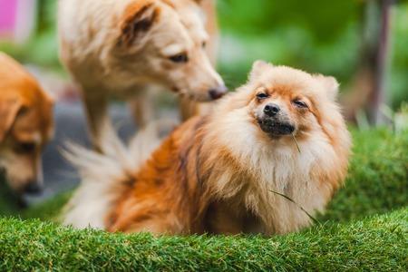 poquito: pequeño perrito lindo que juega en la hierba verde
