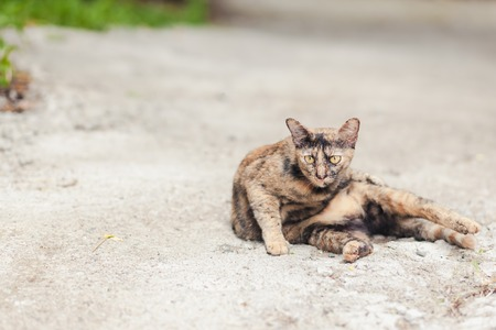 cat island: Beautiful cute cat in thai temple,Phuket Island Thailand Stock Photo
