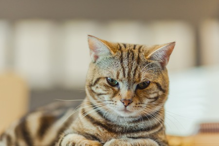 Cute American shorthair cat on the desk in the office.