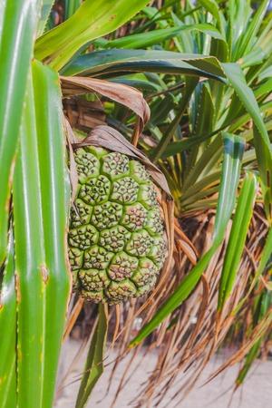 Pandanus tectorius or Screw Pine fruit
