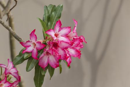 mock azalea: Pink Impala Lily, Desert Rose or pink flower