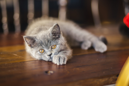 Cute Kitten, Russian Blue breed Play on a wooden table in a café ,beautiful gray cat Stock Photo