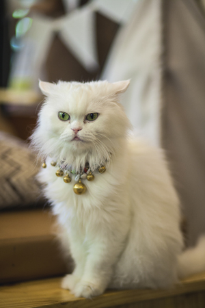 Close up of Persian cats Playing in a Cat Cafe coffee shop,Portrait of beautiful cats,White cat