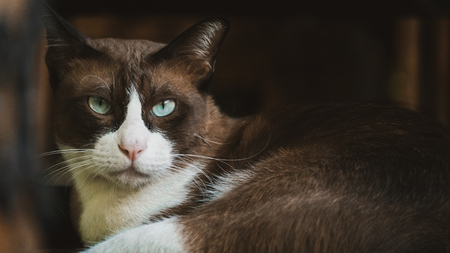 Siamese tabby point cat , thai cat,Cute tabby kitten