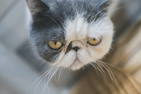 Exotic Shorthair cat have a flat face ,Felis catus