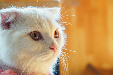 Beautiful munchkin cat with white and grey color hair