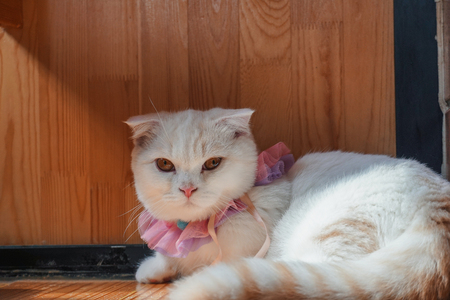 Beautiful munchkin cat with white and grey color hair 版權商用圖片 - 110895330