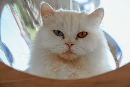 Close up of Persian white cat