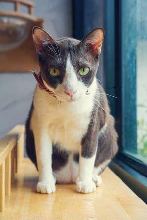 Cute kitten portrait Siamese cat Nose close up.