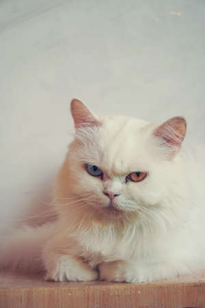 Portrait of a white fluffy cat with different eyes. Pet, Persian beautiful cat 版權商用圖片