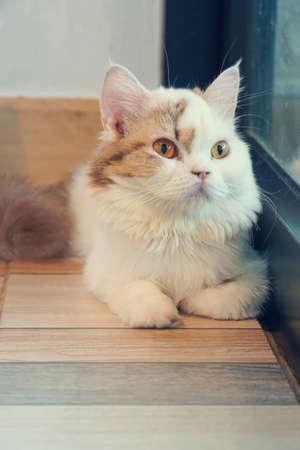 White-brown persian cat, yellow bright beautiful kitty eyes 版權商用圖片