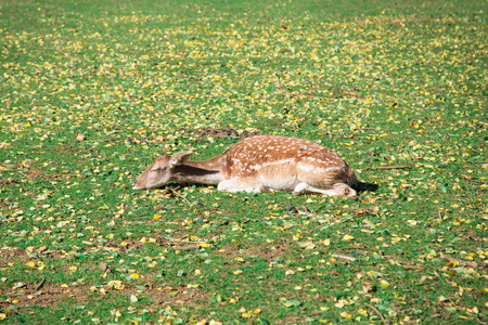 Sleeping deer on grass and foliage   photo