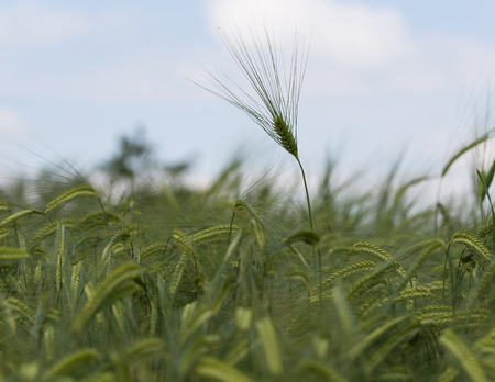 subsidy: Individual barley in a field detail.