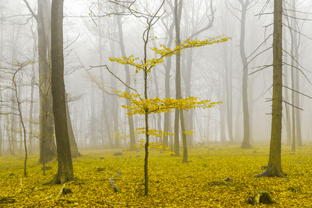 discolored: Fantasy forest with fog and yellow leaves.