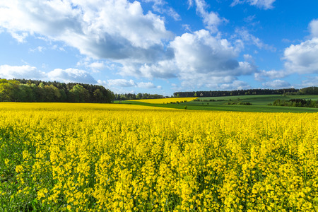 biodiesel: Canola field in summer with yellow flowers and blue sky.