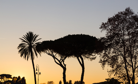 tannenbaum: Trees at sunset in backlight in Rome.