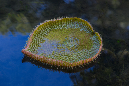 mauritius: Water lily Victoria regia in Pamplemousses Botanical Garden Mauritius.