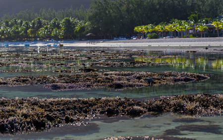 le: Corals Le Morne Mauritius at low tide. Stock Photo