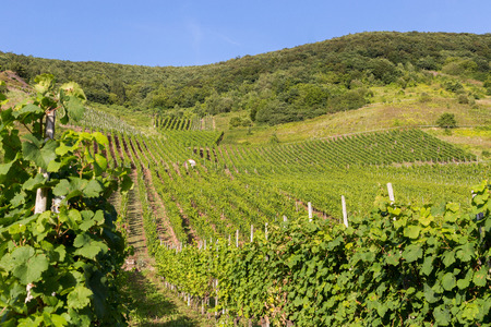 Vineyards on the Mosel in summer.