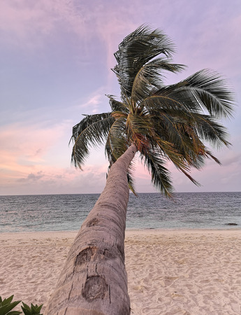 Leaning palm tree at sunset in Raa Atoll Island, Maldives.