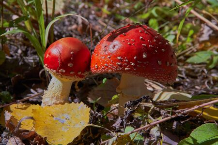 two fly agaric brothers Banque d'images