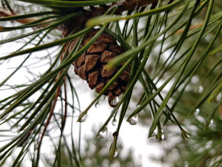 Close-up of pine cone and needles with raindrops. Photograph Stockfoto