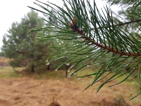 Close-up of pine needles with raindrops. Photograph