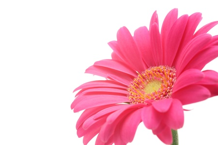 Gerbera: Pink gerbera daisies isolated on white background