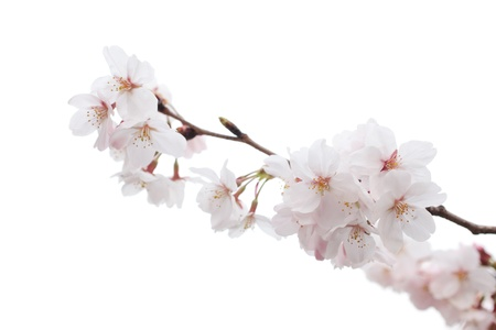 Closeup of Cherry blossom photo