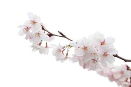 Closeup of Cherry blossom Stock Photo - 12019838